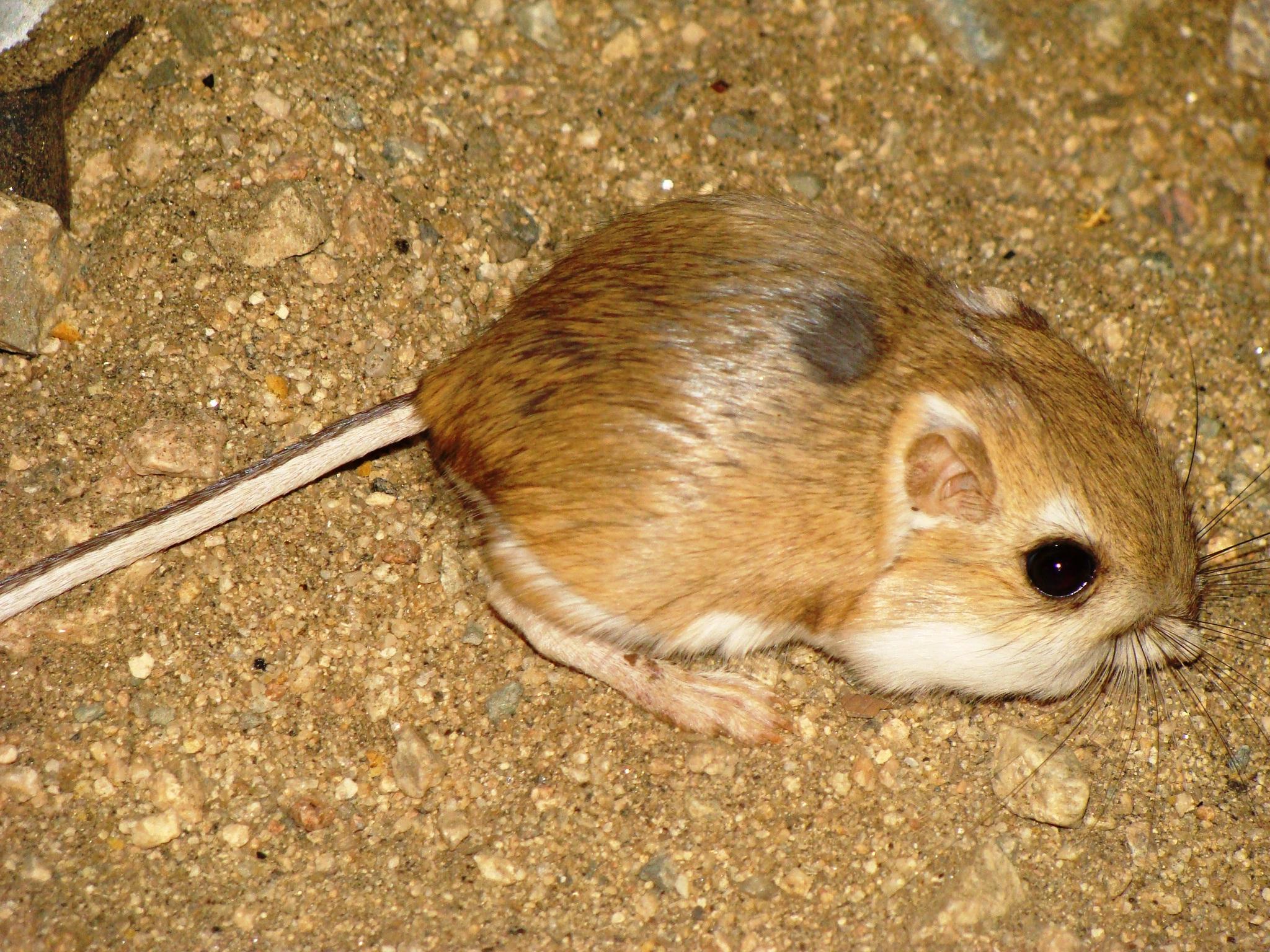 Desert Rats Animal